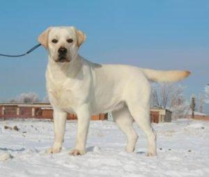 физическая нагрузка собаки лабрадора
