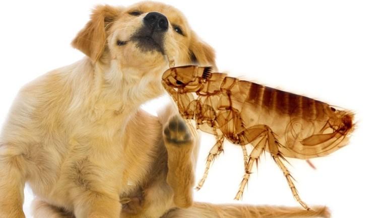 Блохи у собаки: причины, признаки, лечение и профилактика