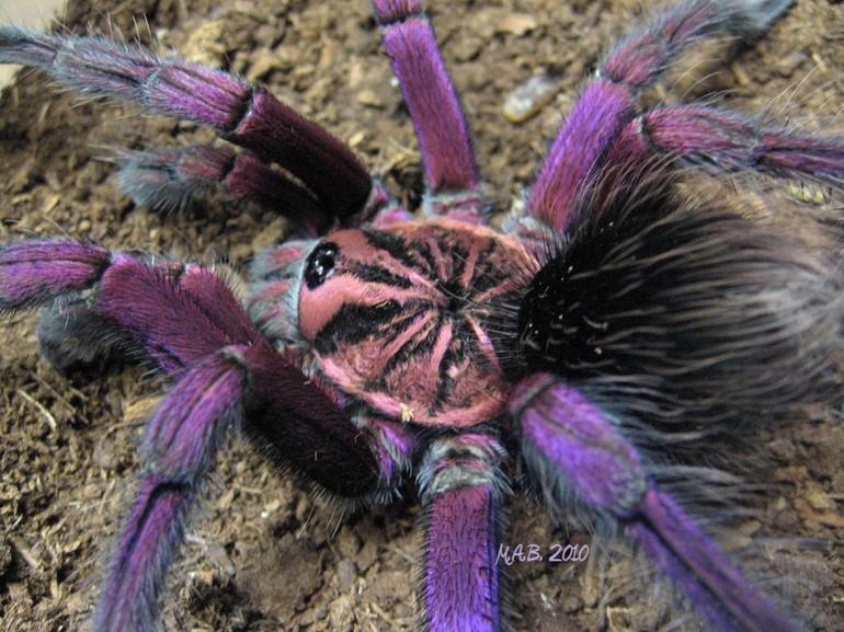 Чем питаются паук тарантул
