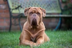 французский дог пес