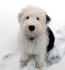 щенок бобтейла