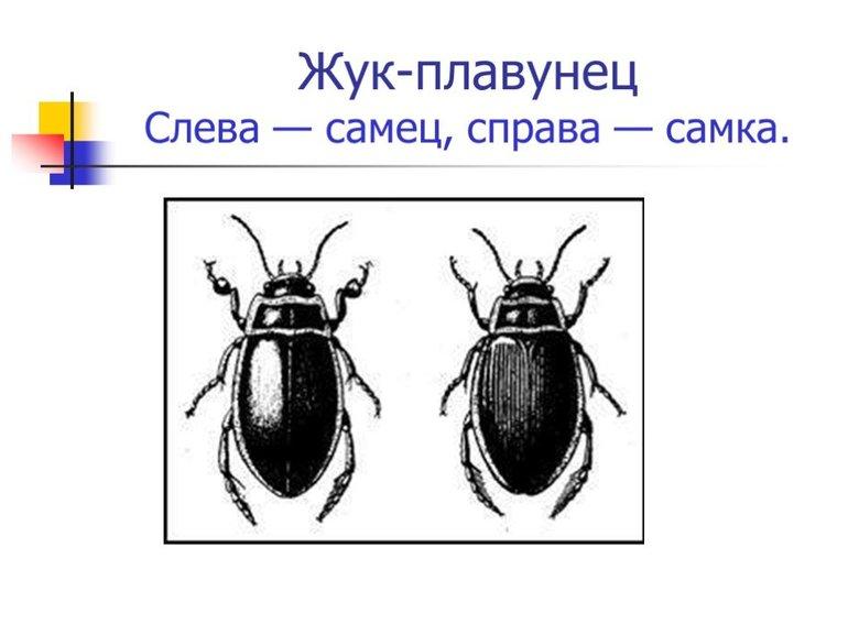 Размножение жука-плавунца