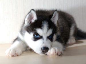 щенок голубоглазый хаски