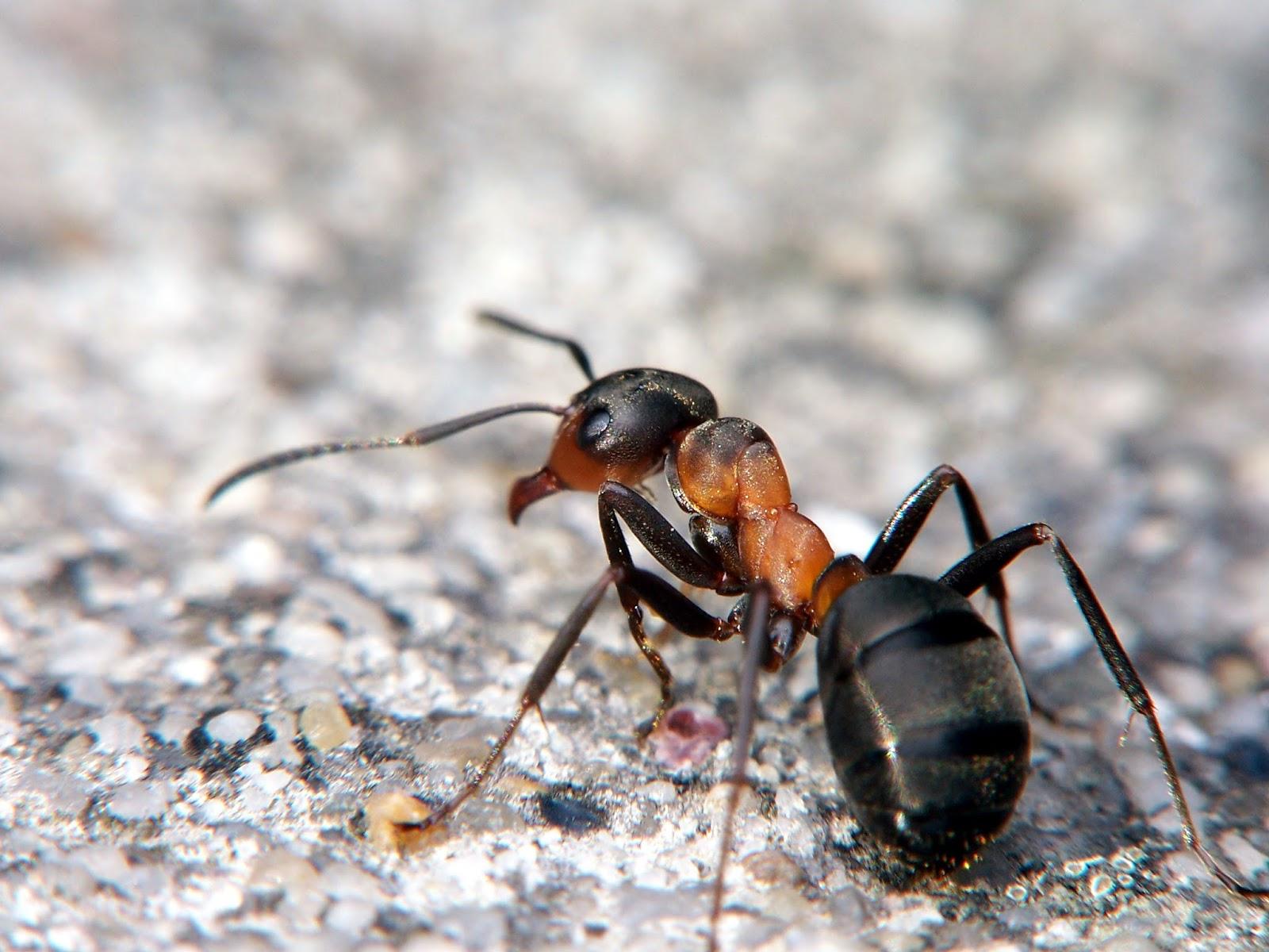 Рыжий лесной муравей в естественной среде