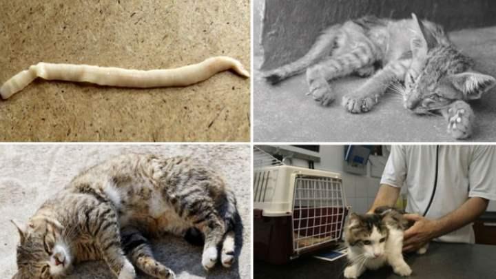 Виды глистов у кошки