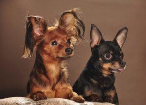 Характеристика породы собак Той-терьер и особенности ее содержания