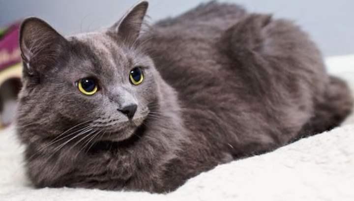 Именно здесь находится единственный питомник, где цены на необычных кошек начинаются от 50000 рублей.