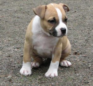 характра щенка стаффордширского терьера