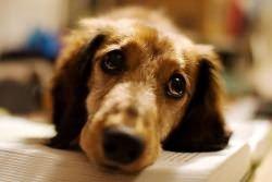 беременность неудачная у собаки