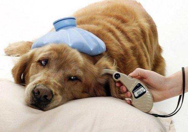 После вакцинации у собаки может быть вялость