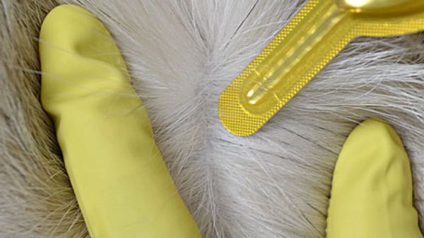 Проводите обработку собаки в перчатках