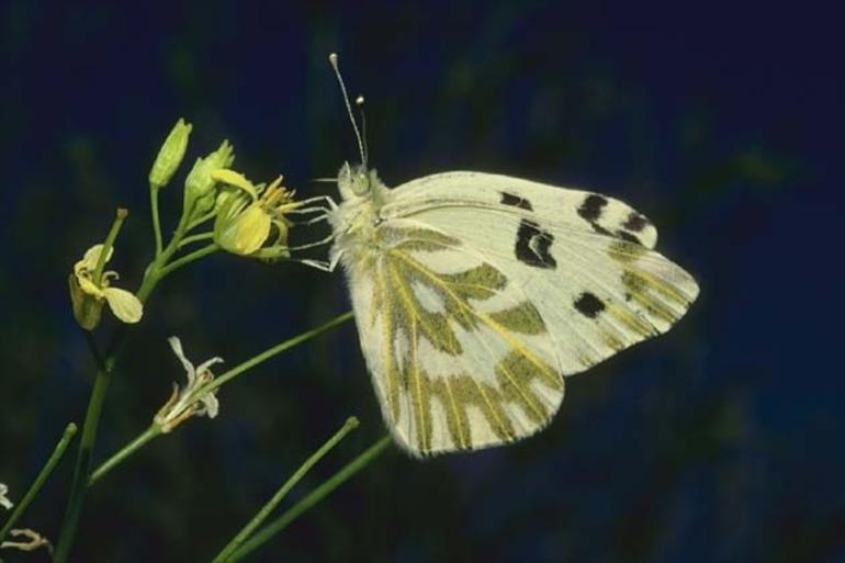 Размножение бабочек