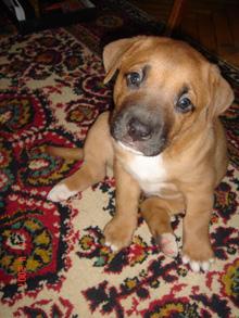 лечение щенка стаффордширского терьера