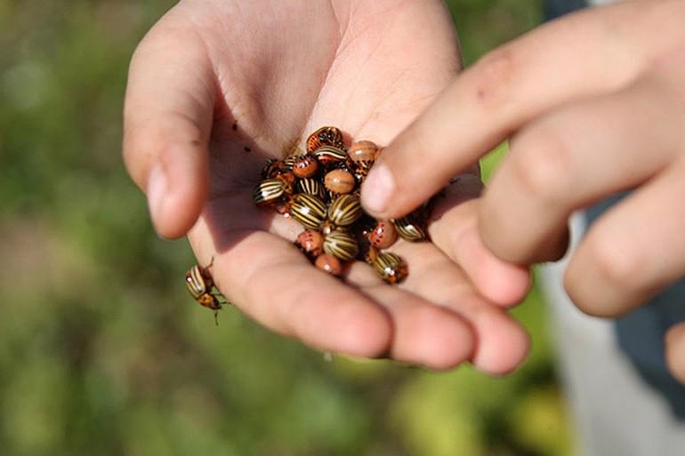 Собирать колорадского жука