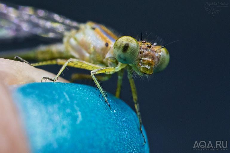 Что едят личинки стрекозы