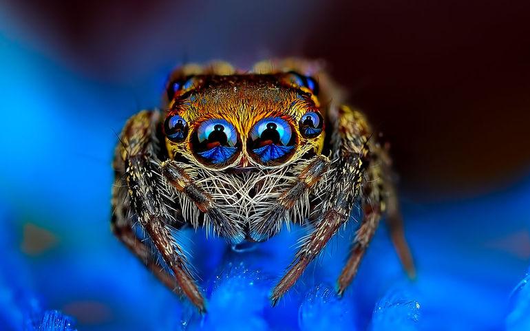 Сонник красивый паук