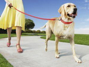 основы выгула собак