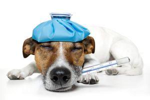 нормальная температура у собак