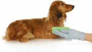 собака во время течки