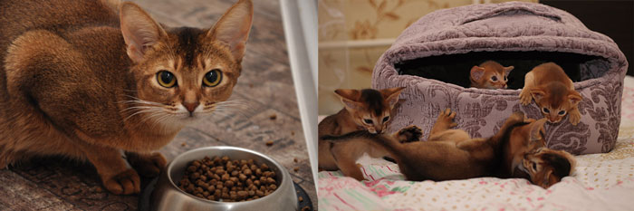дмик для абисанских котят и корм