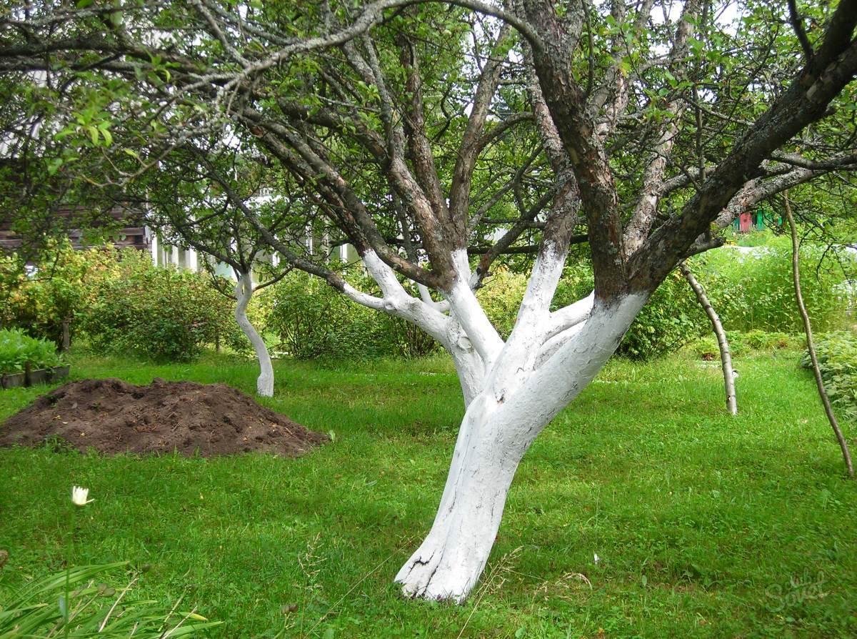 Дерево обработанное известью
