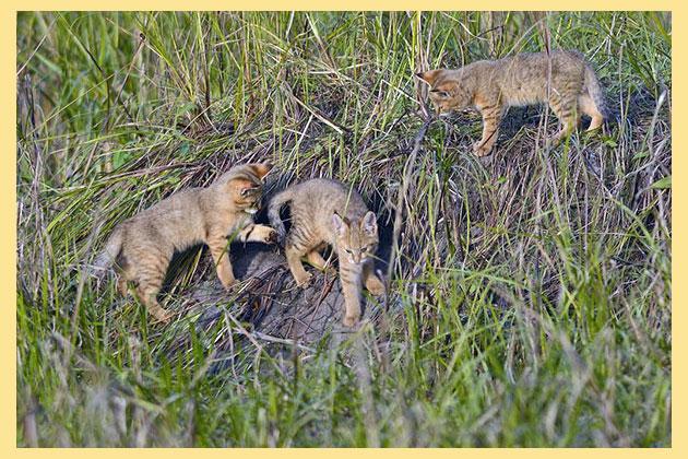 Камышковые котята в камышах