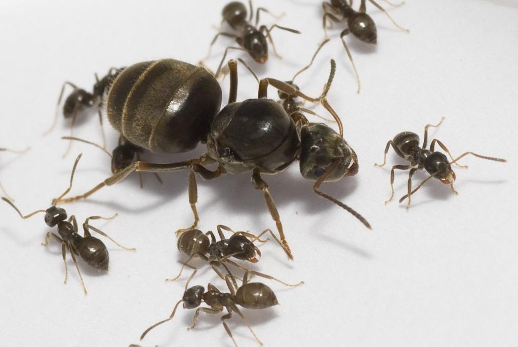 Фото матки муравьев с рабочими муравьями