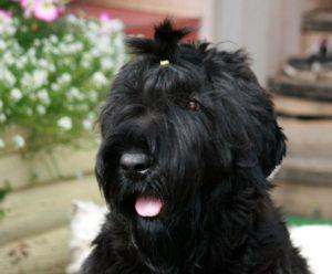 черный терьер порода собак