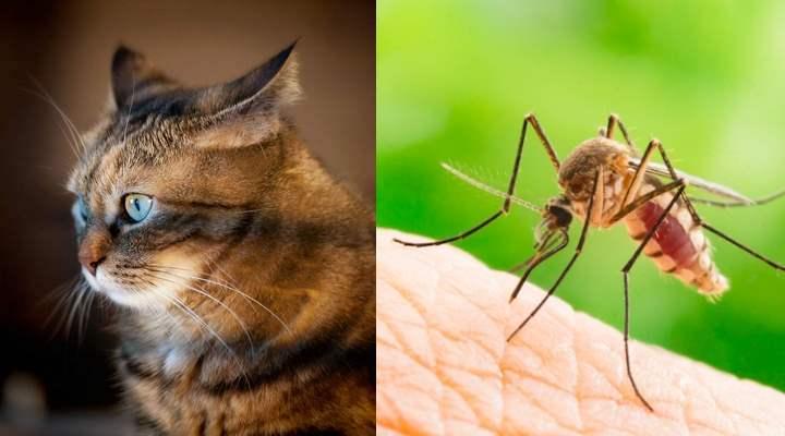 Кошки являются более устойчивыми к заражению