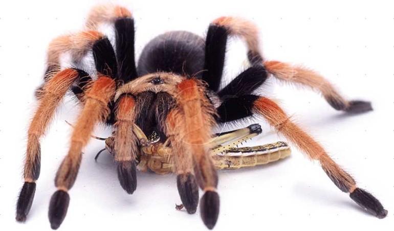 Гастрономические предпочтения паука