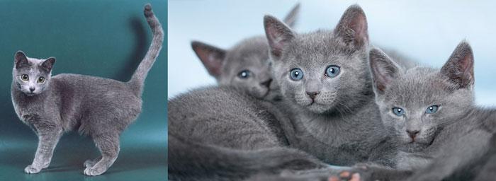 Котики русской голубой породы