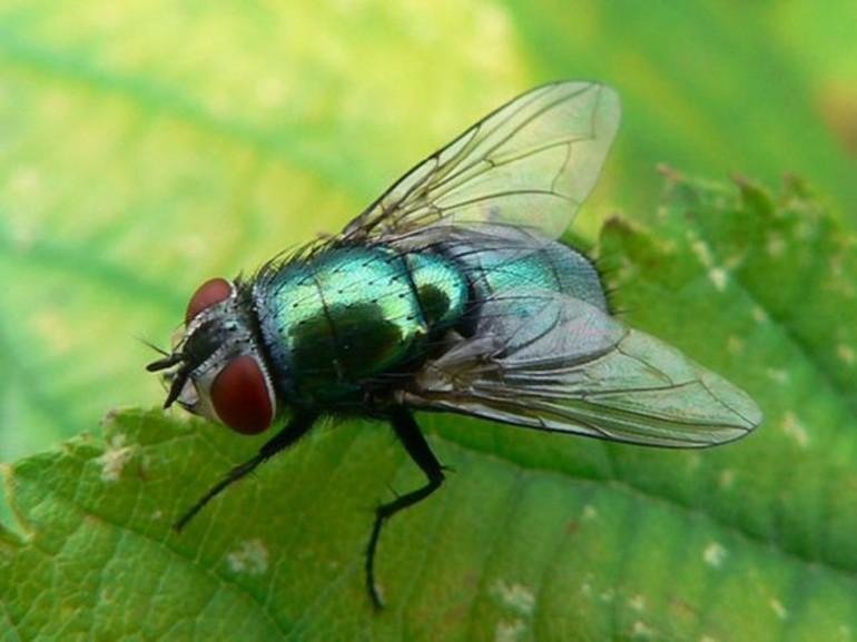 Зелёная мясная муха