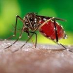 Комар, сосущий кровь