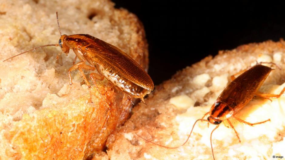 Рыжие тараканы на мучных изделиях