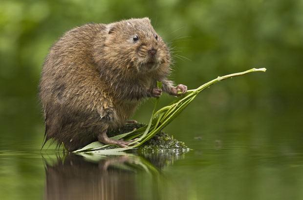 Внешний вид водяной крысы