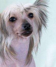 китайская хохлатая порода собак