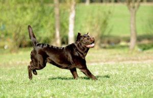 дисплазия суставов у собаки лечение