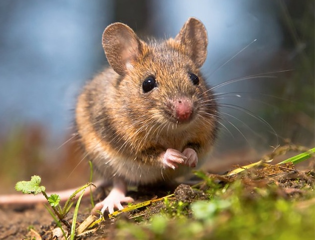 Фото мыши крупным планом