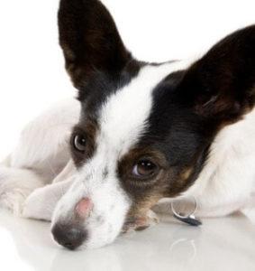 мокнущий лишай у собак лечение