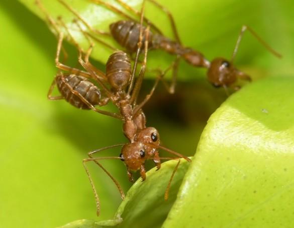 Африканский муравей-ткач на листве
