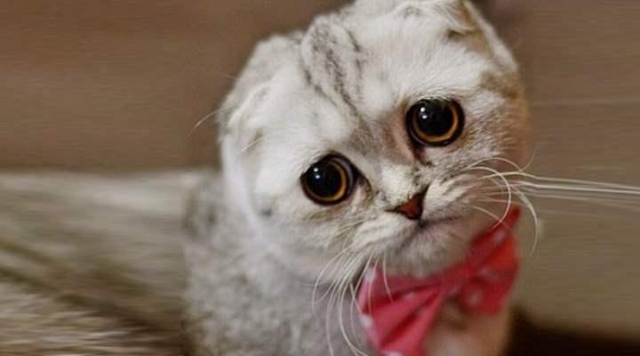 Глаза британской кошки