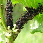 Муравьи на стебле винограда
