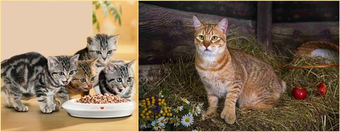 Котята едят и кот пиксибоб