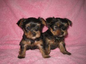 йоркширский терьер мини щенок