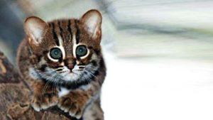 Малыш из лесной породы кошек