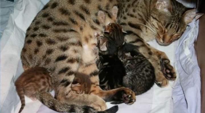 Полосатая лесная кошка с котятами