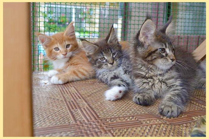 Калсс пет бред и шоу мейн кун котят