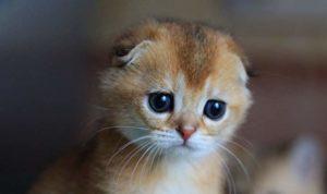 Шшотландская вислоухая кошка