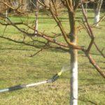 Процесс опрыскивания яблони после зимы