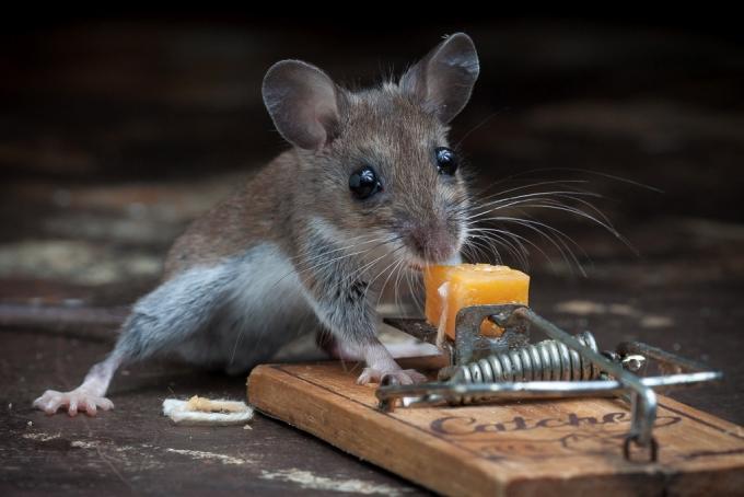 Мышь почти попалась вы мышеловку